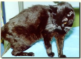 Weight loss, rapid heart rate, good appetite, poor coat ... could be hyperthyroidism in this cat