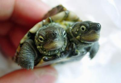 http://www.petlvr.com/blog/wp-content/thumb-two_headed_turtle.jpg
