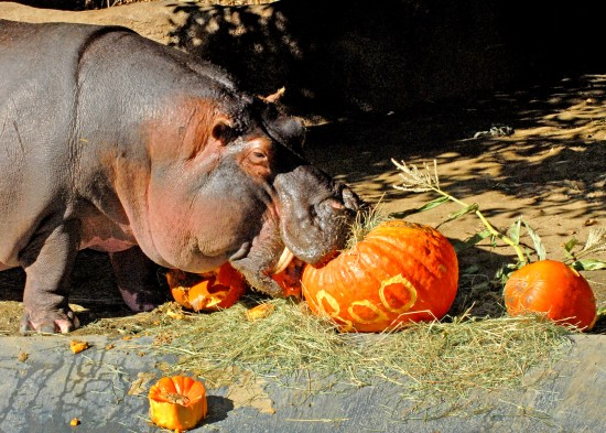 The Los Angeles Zoo's hippopotamus, Jabba, chows down on a pumpkin before Boo at the Zoo, which takes place October 24, 25, 31 and November 1