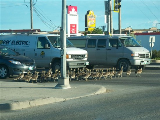 Goose daycare field trip at Fermor and Lagimodiere in Winnipeg